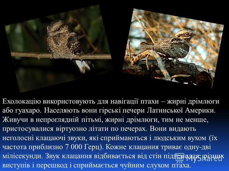Ехолокацію використовують для навігації птахи – жирні дрімлюги або гуахаро. Населяють вони гірські печери Латинської Америки. Живучи в непроглядній пітьмі, жирні дрімлюги, тим не менше, пристосувалися віртуозно літати по печерах. Вони видають неголос
