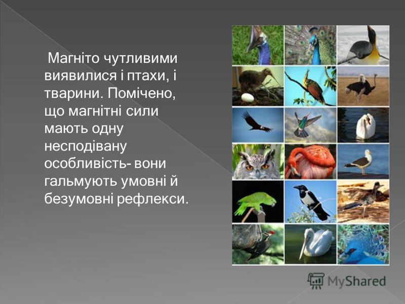 Магніто чутливими виявилися і птахи, і тварини. Помічено, що магнітні сили мають одну несподівану особливість- вони гальмують умовні й безумовні рефлекси.
