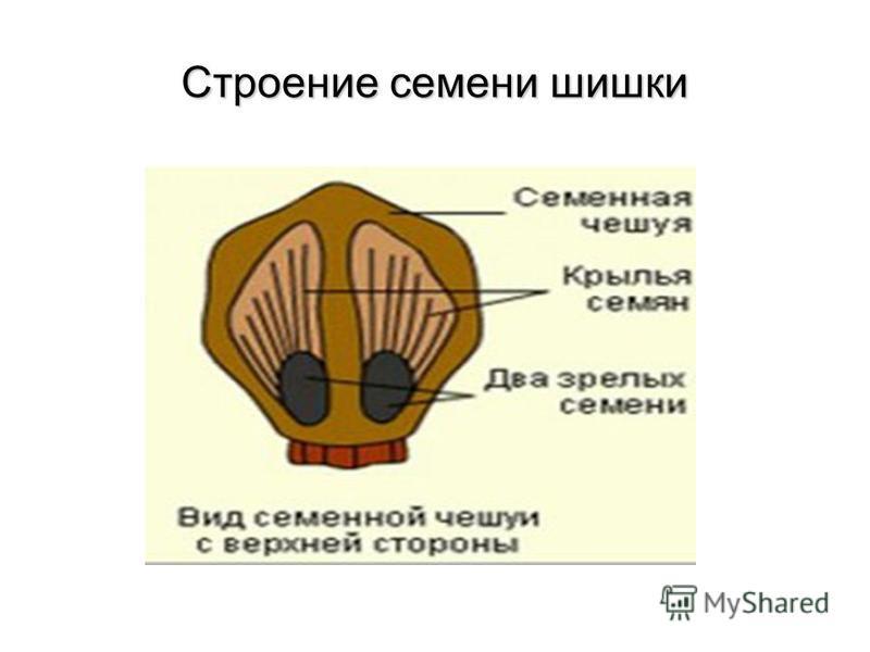 Строение семени шишки