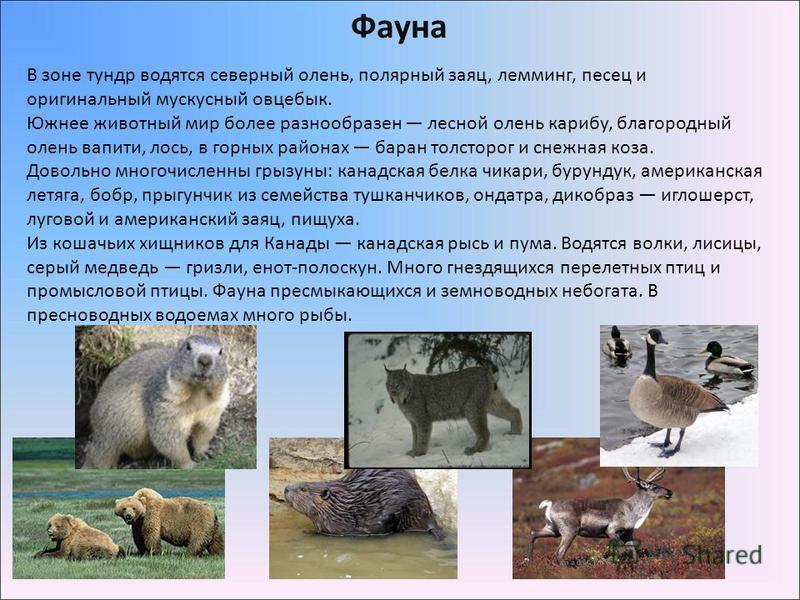 Фауна В зоне тундр водятся северный олень, полярный заяц, лемминг, песец и оригинальный мускусный овцебык. Южнее животный мир более разнообразен лесной олень карибу, благородный олень вапити, лось, в горных районах баран толсторог и снежная коза. Дов