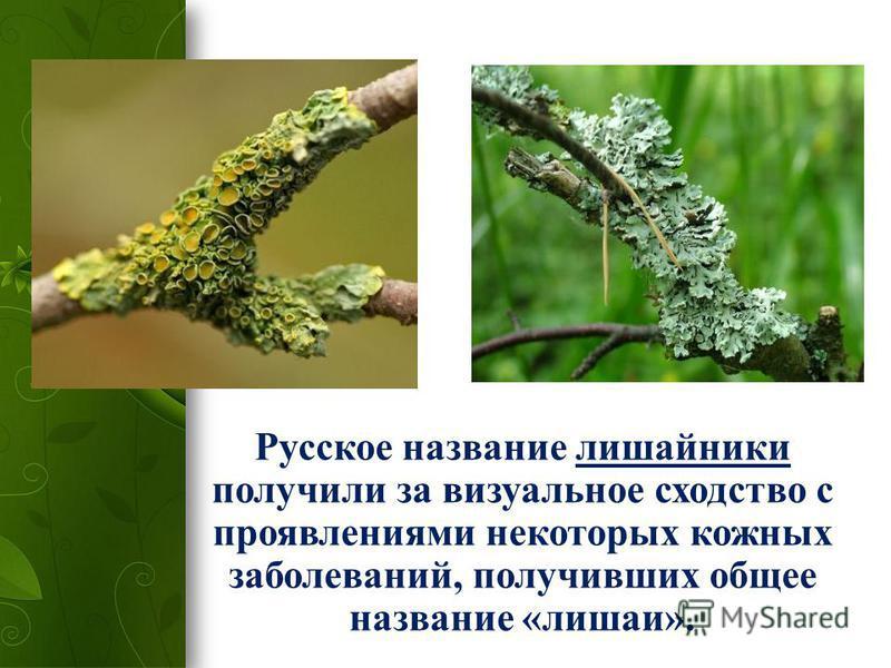 Русское название лишайники получили за визуальное сходство с проявлениями некоторых кожных заболеваний, получивших общее название «лишаи».