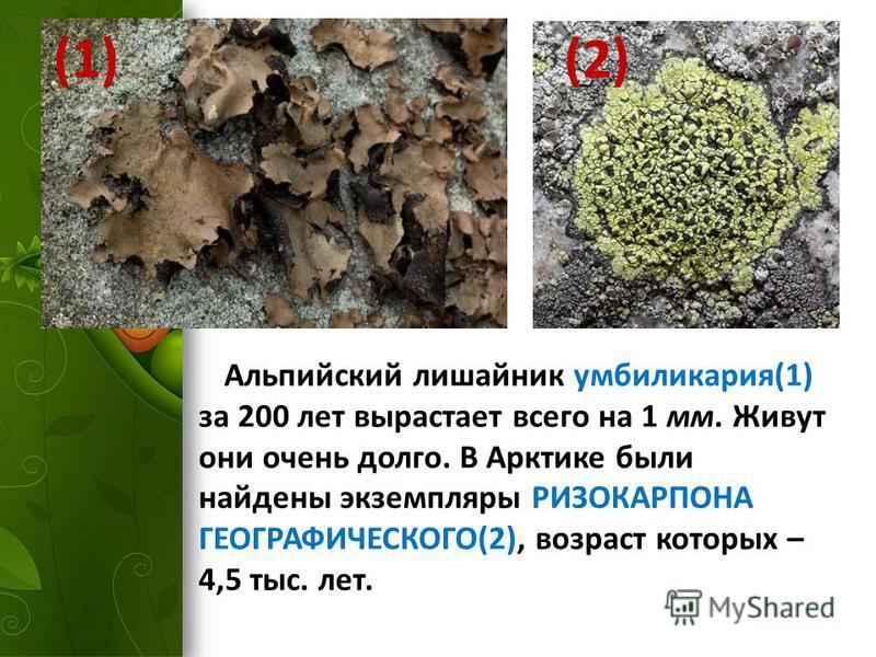 Альпийский лишайник умбиликария(1) за 200 лет вырастает всего на 1 мм. Живут они очень долго. В Арктике были найдены экземпляры РИЗОКАРПОНА ГЕОГРАФИЧЕСКОГО(2), возраст которых – 4,5 тыс. лет. (1) (2)