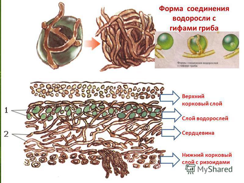 Форма соединения с гифами гриба Верхний корковый слой Слой водорослей Сердцевина Нижний корковый слой с ризоидами Форма соединения водоросли с гифами гриба