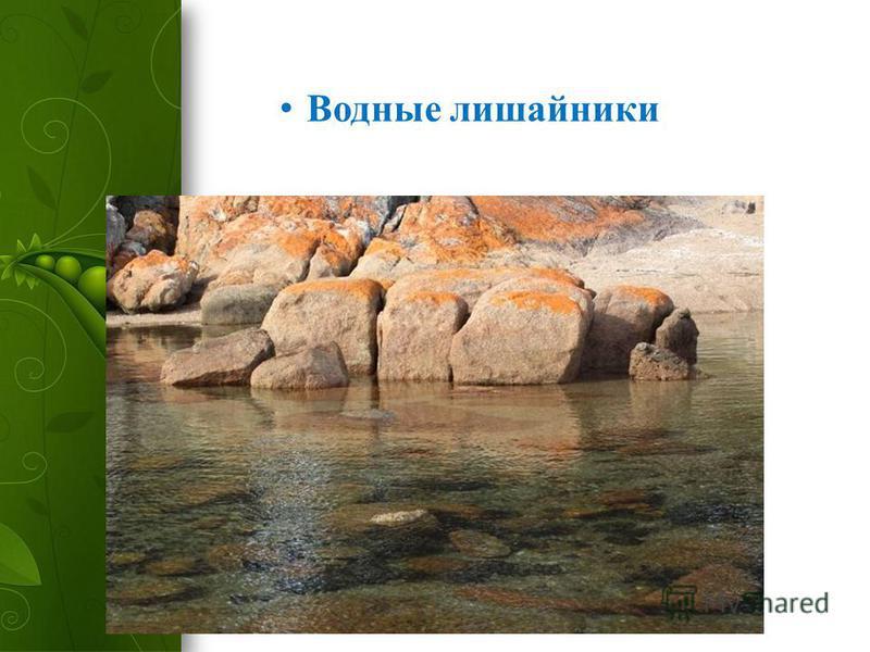 Водные лишайники