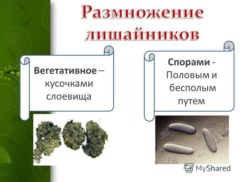 Вегетативное – кусочками слоевища Спорами - Половым и бесполым путем