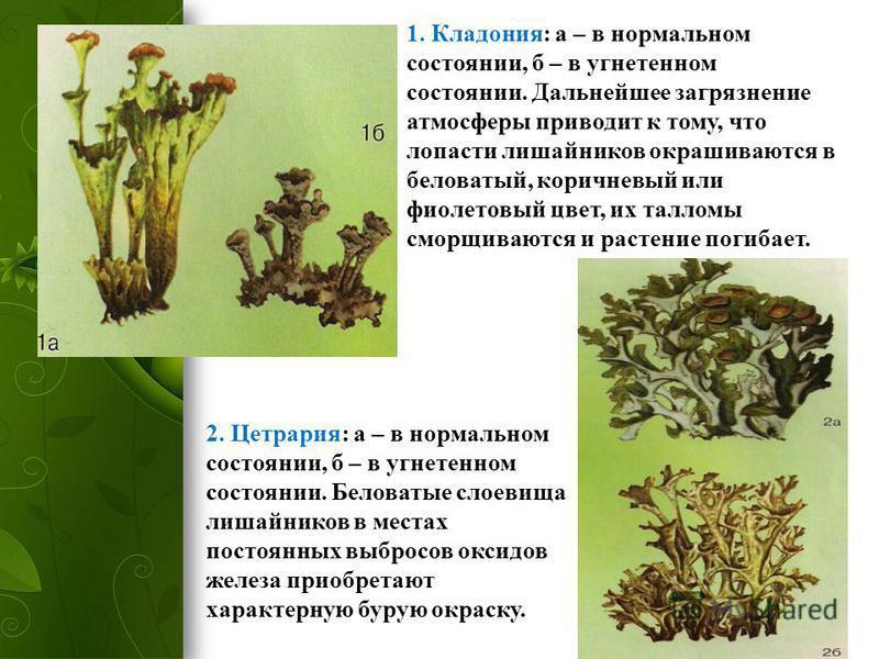1. Кладония: а – в нормальном состоянии, б – в угнетенном состоянии. Дальнейшее загрязнение атмосферы приводит к тому, что лопасти лишайников окрашиваются в беловатый, коричневый или фиолетовый цвет, их талломы сморщиваются и растение погибает. 2. Це