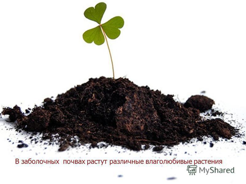 В заболоченных почвах растут различные влаголюбивые растения