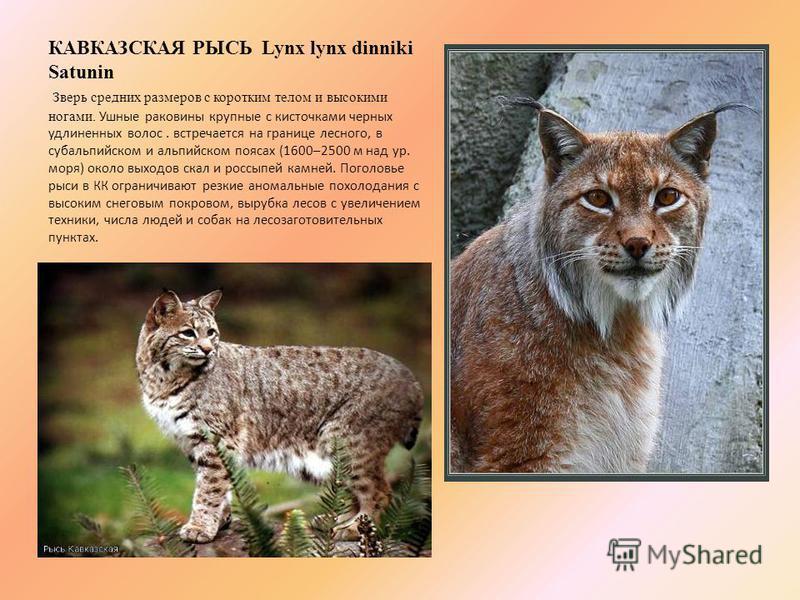 КАВКАЗСКАЯ РЫСЬ Lynx lynx dinniki Satunin Зверь средних размеров с коротким телом и высокими ногами. Ушные раковины крупные с кисточками черных удлиненных волос. встречается на границе лесного, в субальпийском и альпийском поясах (1600–2500 м над ур.