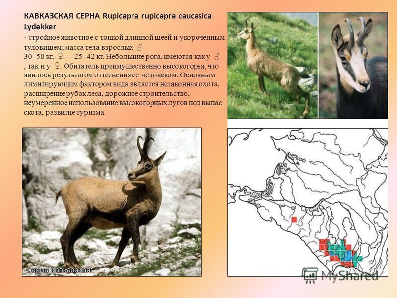 КАВКАЗСКАЯ СЕРНА Rupicapra rupicapra caucasica Lydekker - стройное животное с тонкой длинной шеей и укороченным туловищем; масса тела взрослых 30–50 кг, 25–42 кг. Небольшие рога, имеются как у, так и у. Обитатель преимущественно высокогорья, что явил
