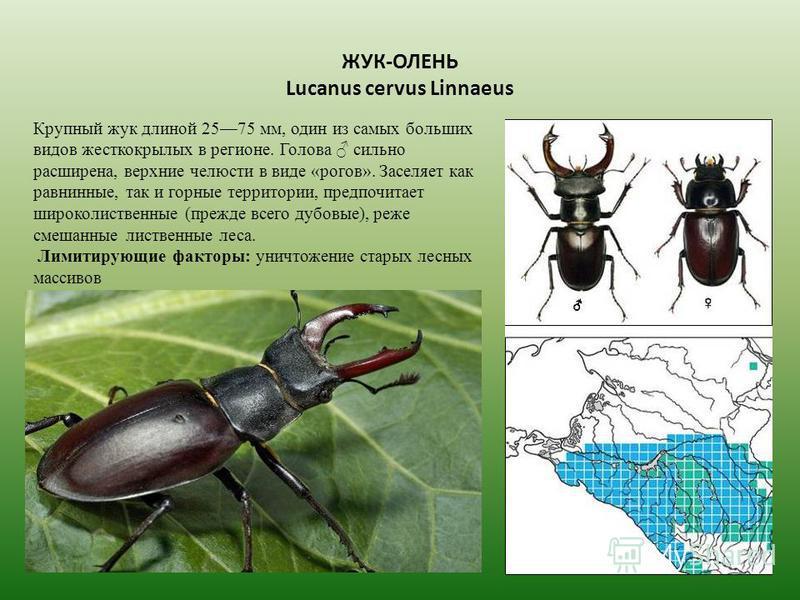 ЖУК-ОЛЕНЬ Lucanus cervus Linnaeus Крупный жук длиной 2575 мм, один из самых больших видов жесткокрылых в регионе. Голова сильно расширена, верхние челюсти в виде «рогов». Заселяет как равнинные, так и горные территории, предпочитает широколиственные