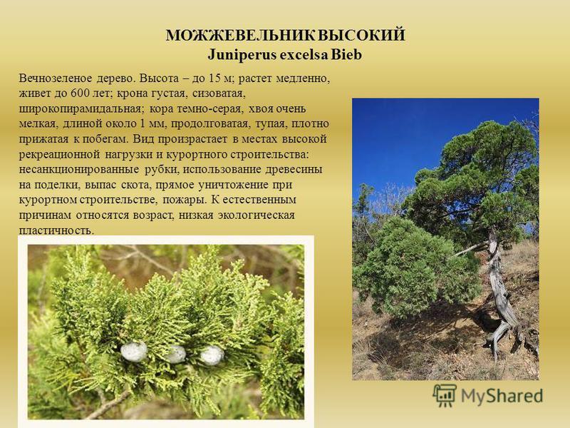 МОЖЖЕВЕЛЬНИК ВЫСОКИЙ Juniperus excelsa Bieb Вечнозеленое дерево. Высота – до 15 м; растет медленно, живет до 600 лет; крона густая, сизоватая, широкопирамидальная; кора темно-серая, хвоя очень мелкая, длиной около 1 мм, продолговатая, тупая, плотно п