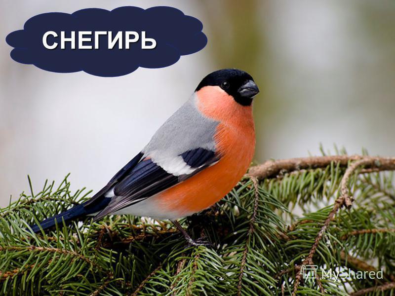 СНЕГИРЬ