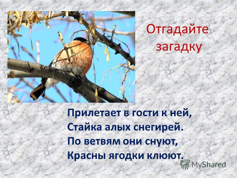 Отгадайте загадку Прилетает в гости к ней, Стайка алых снегирей. По ветвям они снуют, Красны ягодки клюют.