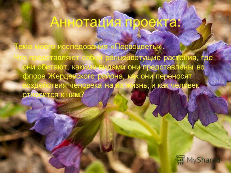 Аннотация проекта: Тема моего исследования «Первоцветы». Что представляют собой раннецветущие растения, где они обитают, какими видами они представлены во флоре Жердевского района, как они переносят воздействия человека на их жизнь, и как человек отн