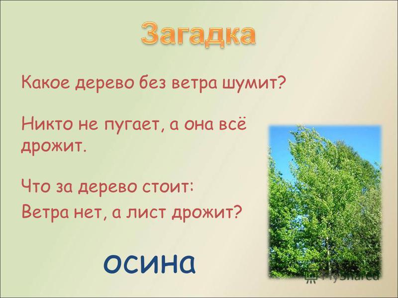 Какое дерево без ветра шумит? Никто не пугает, а она всё дрожит. Что за дерево стоит: Ветра нет, а лист дрожит? осина