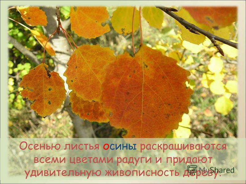 описание дерево осина и осенью фото