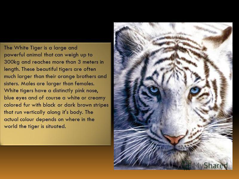 The White Tiger is a large and powerful animal that can weigh up to 300kg and reaches more than 3 meters in length. These beautiful tigers are often much larger than their orange brothers and sisters. Males are larger than females. White tigers have