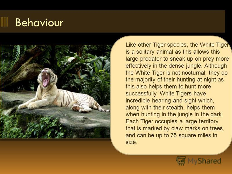Behaviour Like other Tiger species, the White Tiger is a solitary animal as this allows this large predator to sneak up on prey more effectively in the dense jungle. Although the White Tiger is not nocturnal, they do the majority of their hunting at
