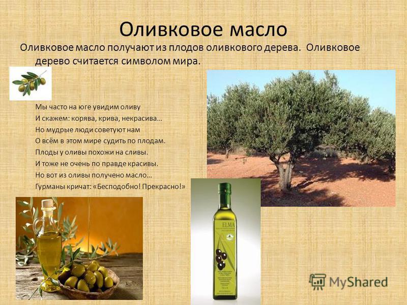 Оливковое масло Оливковое масло получают из плодов оливкового дерева. Оливковое дерево считается символом мира. Мы часто на юге увидим оливу И скажем: корява, крива, некрасива… Но мудрые люди советуют нам О всём в этом мире судить по плодам. Плоды у
