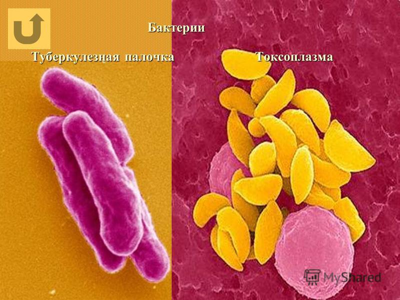Бактерии Туберкулезная палочка Токсоплазма Бактерии Туберкулезная палочка Токсоплазма