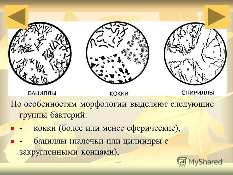 По особенностям морфологии выделяют следующие группы бактерий: - кокки (более или менее сферические), - кокки (более или менее сферические), - бациллы (палочки или цилиндры с закругленными концами), - бациллы (палочки или цилиндры с закругленными кон