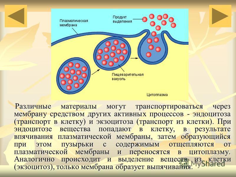 Различные материалы могут транспортироваться через мембрану средством других активных процессов - эндоцитоза (транспорт в клетку) и экзоцитоза (транспорт из клетки). При эндоцитозе вещества попадают в клетку, в результате впячивания плазматической ме