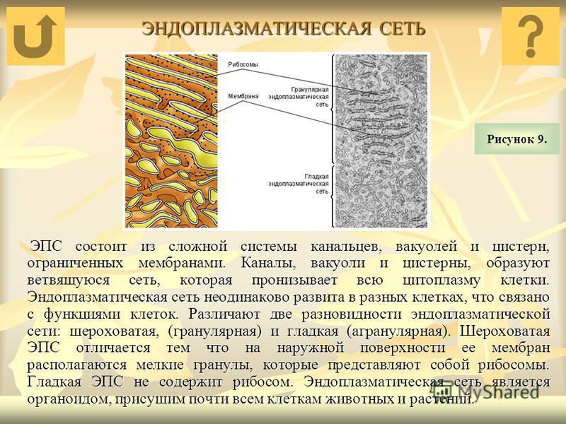 ЭНДОПЛАЗМАТИЧЕСКАЯ СЕТЬ ЭПС состоит из сложной системы канальцев, вакуолей и цистерн, ограниченных мембранами. Каналы, вакуоли и цистерны, образуют ветвящуюся сеть, которая пронизывает всю цитоплазму клетки. Эндоплазматическая сеть неодинаково развит