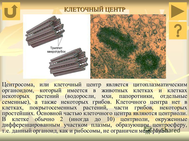 КЛЕТОЧНЫЙ ЦЕНТР Центросома, или клеточный центр является цитоплазматическим органоидом, который имеется в животных клетках и клетках некоторых растений (водоросли, мхи, папоротники, отдельные семенные), а также некоторых грибов. Клеточного центра нет