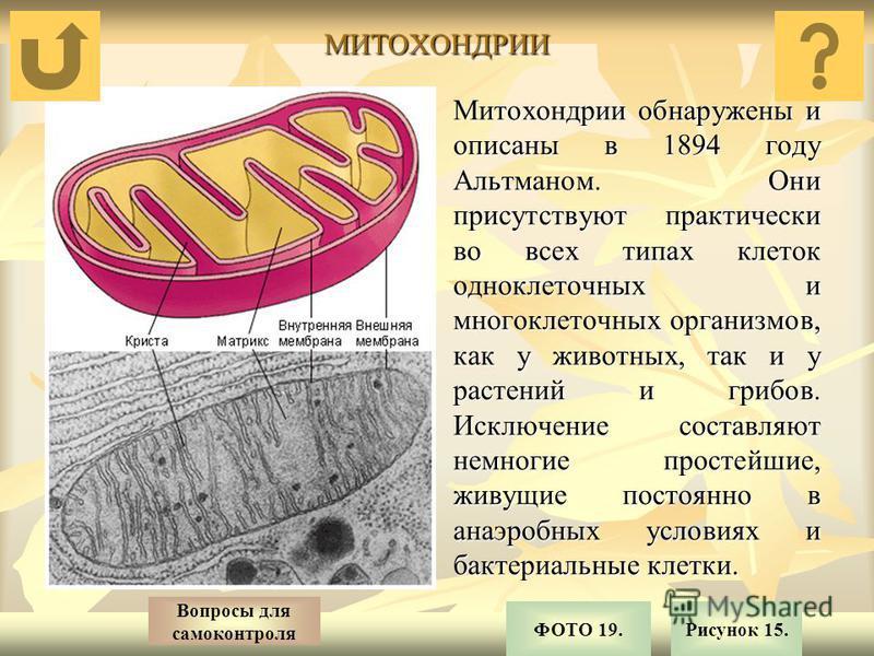 МИТОХОНДРИИ Митохондрии обнаружены и описаны в 1894 году Альтманом. Они присутствуют практически во всех типах клеток одноклеточных и многоклеточных организмов, как у животных, так и у растений и грибов. Исключение составляют немногие простейшие, жив