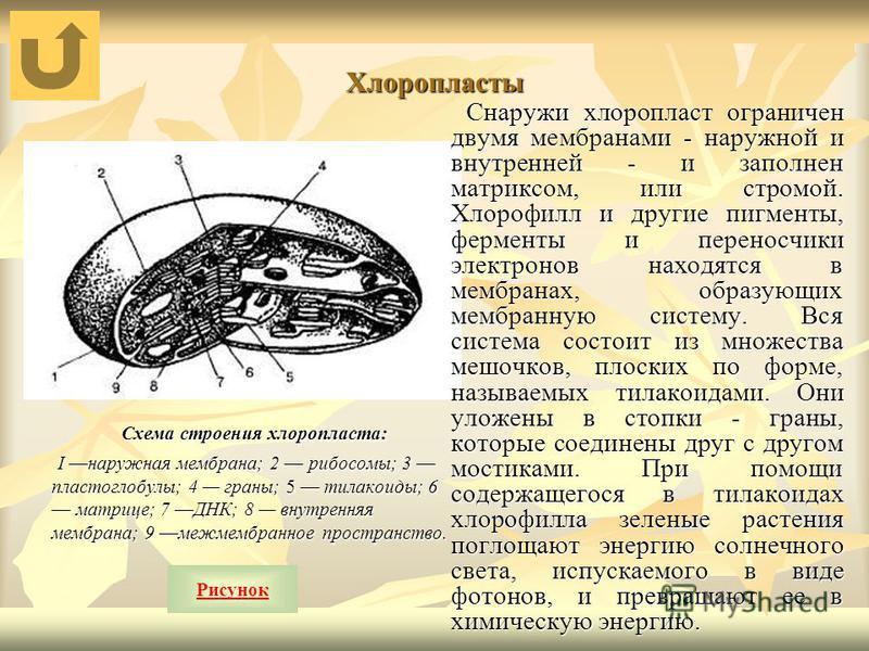 Хлоропласты Схема строения хлоропласта: Схема строения хлоропласта: I наружная мембрана; 2 рибосомы; 3 пластоглобулы; 4 граны; 5 тилакоиды; 6 матрице; 7 ДНК; 8 внутренняя мембрана; 9 межмембранное пространство. I наружная мембрана; 2 рибосомы; 3 плас