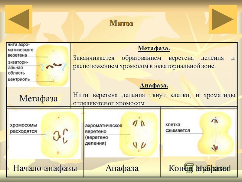 Митоз Метафаза Метафаза. Заканчивается образованием веретена деления и расположением хромосом в экваториальной зоне. Анафаза. Нити веретена деления тянут клетки, и хроматиды отделяются от хромосом. Начало анафазы Анафаза Конец анафазы
