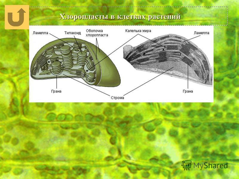 Хлоропласты в клетках растений