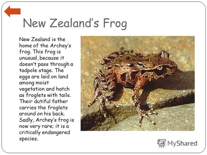 New Zealands Frog New Zealand is the home of the Archeys frog. This frog is unusual, because it doesnt pass through a tadpole stage. The eggs are laid on land among moist vegetation and hatch as froglets with tails. Their dutiful father carries the f
