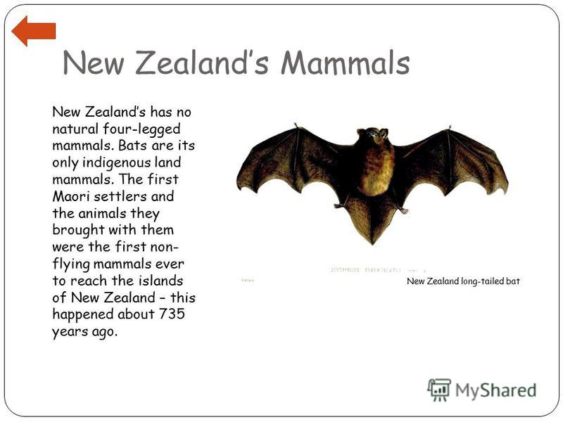 New Zealands Mammals New Zealands has no natural four-legged mammals. Bats are its only indigenous land mammals. The first Maori settlers and the animals they brought with them were the first non- flying mammals ever to reach the islands of New Zeala