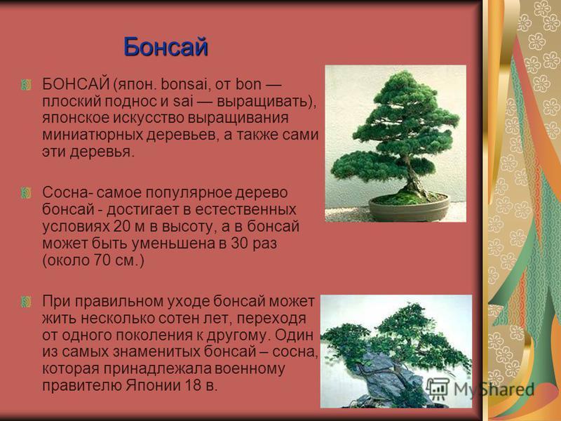 Бонсай БОНСАЙ (япон. bonsai, от bon плоский поднос и sai выращивать), японское искусство выращивания миниатюрных деревьев, а также сами эти деревья. Сосна- самое популярное дерево бонсай - достигает в естественных условиях 20 м в высоту, а в бонсай м