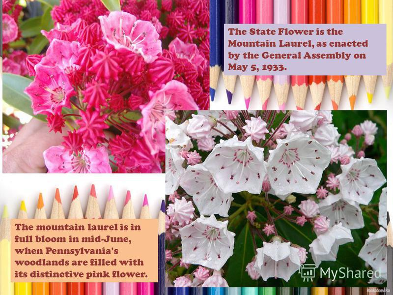 The State Flower is the Mountain Laurel, as enacted by the General Assembly on May 5, 1933. The mountain laurel is in full bloom in mid-June, when Pennsylvania's woodlands are filled with its distinctive pink flower.