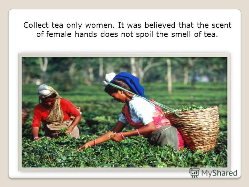 Collect tea only women. It was believed that the scent of female hands does not spoil the smell of tea.