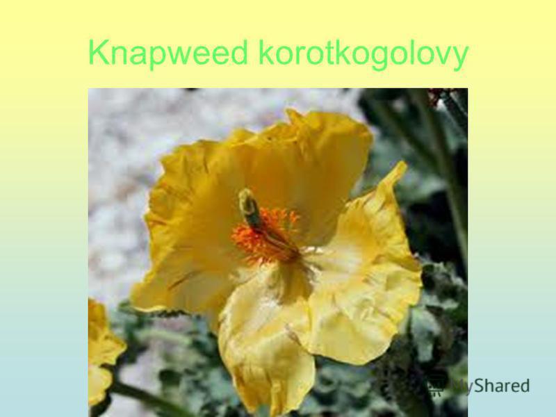 Knapweed korotkogolovy