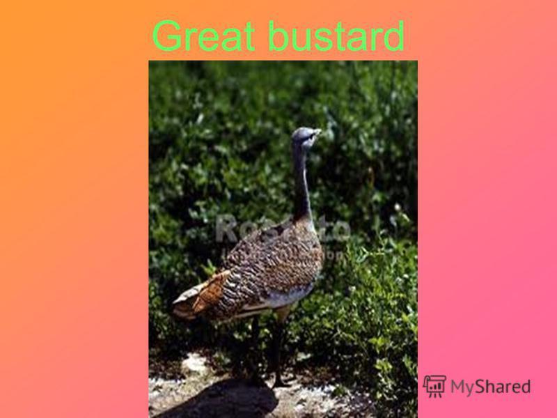 Great bustard