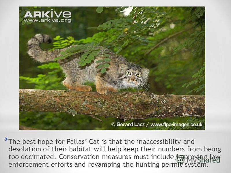 * The best hope for Pallas Cat is that the inaccessibility and desolation of their habitat will help keep their numbers from being too decimated. Conservation measures must include improving law enforcement efforts and revamping the hunting permit sy