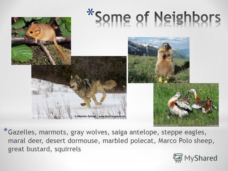 * Gazelles, marmots, gray wolves, saiga antelope, steppe eagles, maral deer, desert dormouse, marbled polecat, Marco Polo sheep, great bustard, squirrels