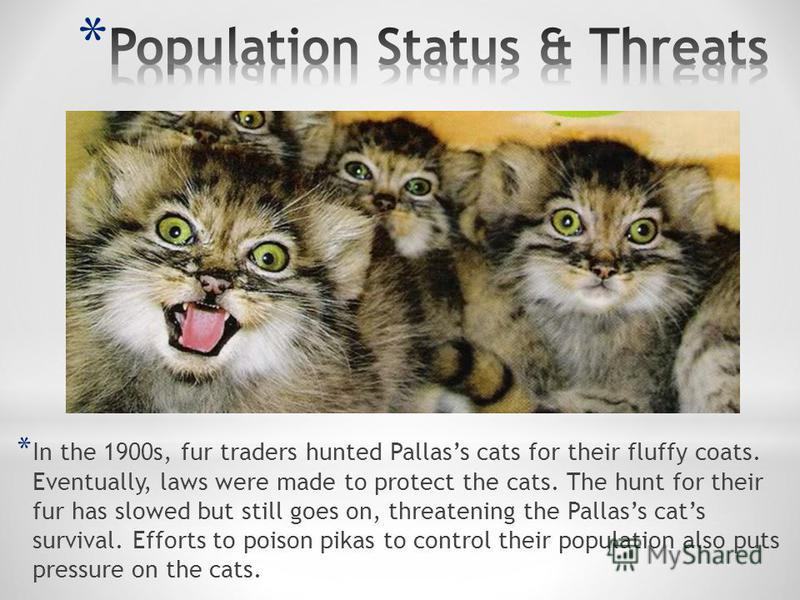 * In the 1900s, fur traders hunted Pallass cats for their fluffy coats. Eventually, laws were made to protect the cats. The hunt for their fur has slowed but still goes on, threatening the Pallass cats survival. Efforts to poison pikas to control the