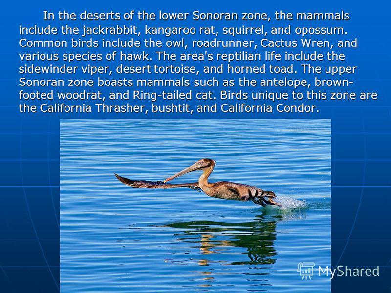 In the deserts of the lower Sonoran zone, the mammals include the jackrabbit, kangaroo rat, squirrel, and opossum. Common birds include the owl, roadrunner, Cactus Wren, and various species of hawk. The area's reptilian life include the sidewinder vi