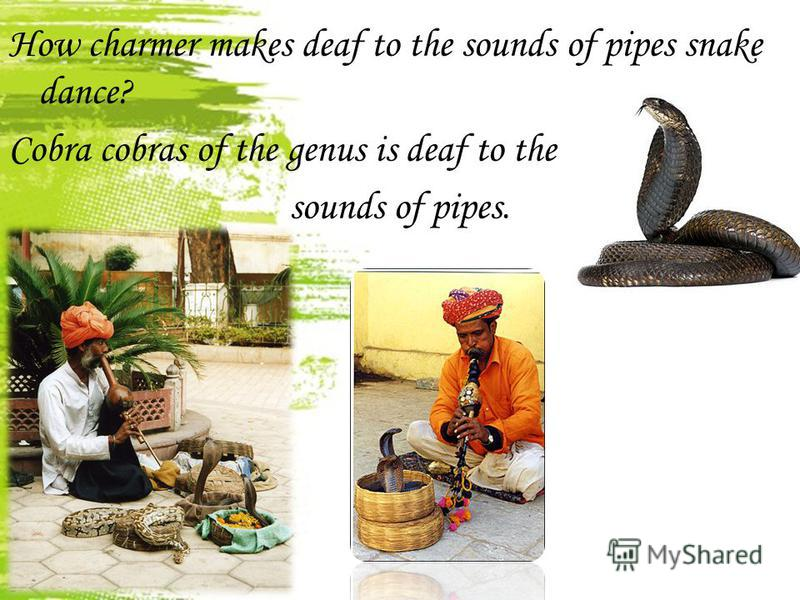 How charmer makes deaf to the sounds of pipes snake dance? Cobra cobras of the genus is deaf to the sounds of pipes.