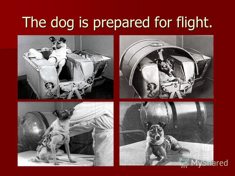 The dog is prepared for flight.