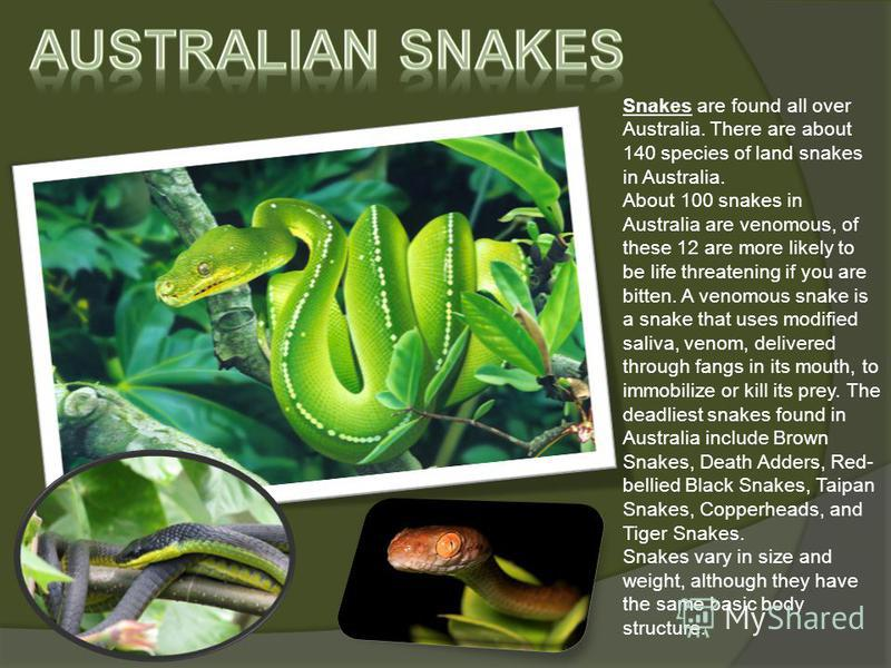 Snakes are found all over Australia. There are about 140 species of land snakes in Australia. About 100 snakes in Australia are venomous, of these 12 are more likely to be life threatening if you are bitten. A venomous snake is a snake that uses modi