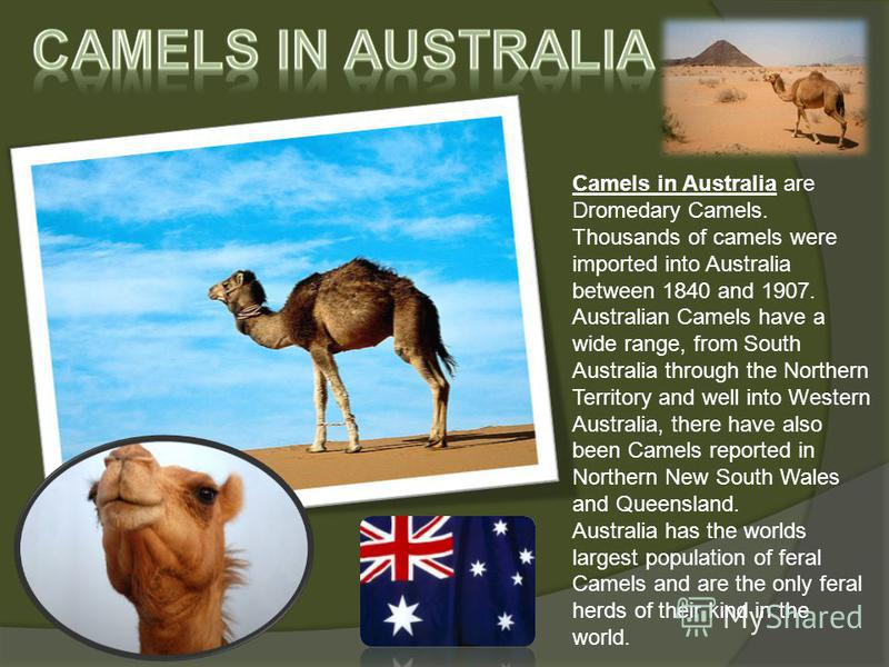 Camels in Australia are Dromedary Camels. Thousands of camels were imported into Australia between 1840 and 1907. Australian Camels have a wide range, from South Australia through the Northern Territory and well into Western Australia, there have als