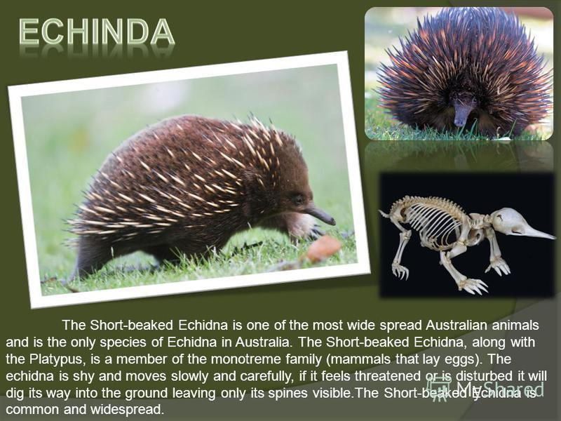 The Short-beaked Echidna is one of the most wide spread Australian animals and is the only species of Echidna in Australia. The Short-beaked Echidna, along with the Platypus, is a member of the monotreme family (mammals that lay eggs). The echidna is