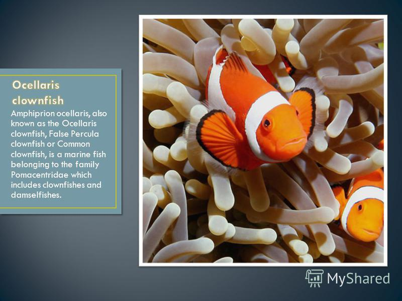 Amphiprion ocellaris, also known as the Ocellaris clownfish, False Percula clownfish or Common clownfish, is a marine fish belonging to the family Pomacentridae which includes clownfishes and damselfishes.