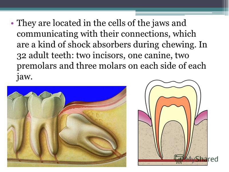 They are located in the cells of the jaws and communicating with their connections, which are a kind of shock absorbers during chewing. In 32 adult teeth: two incisors, one canine, two premolars and three molars on each side of each jaw.